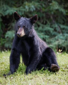 Black bear sitting down on his back legs.