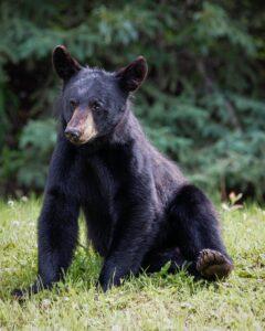 Black bear sitting down on his back legs.