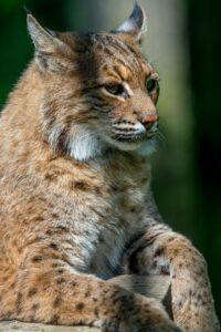 Close up view of a bobcat.