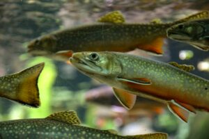 Pod of brook trout holding in a mountain stream.