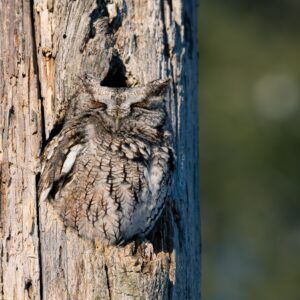 Screen owl camouflaged in a tree.