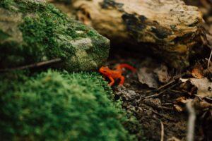 A reddish orange newt crawling among mossy rocks.