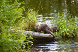 Otters playing on a log.