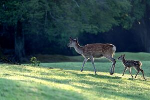 Doe and fawn in a meadow.
