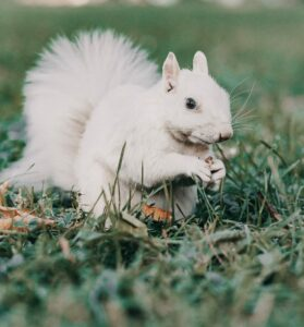 White squirrel eating a nut and sitting in the grass